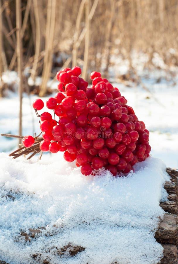 Viburnum i snön fotografering för bildbyråer
