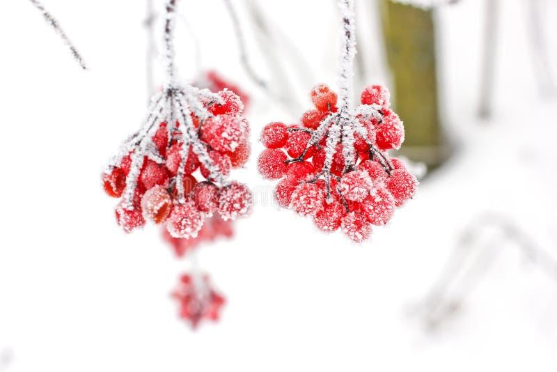 Viburnum i snön första snow royaltyfri fotografi