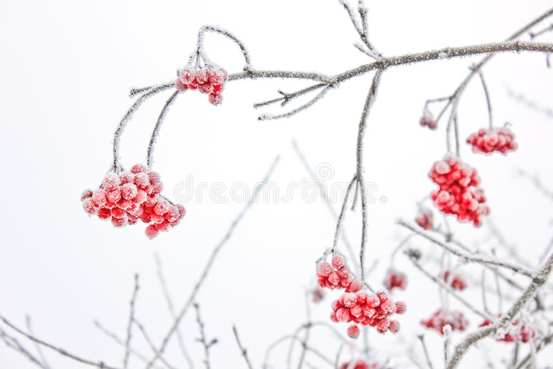Viburnum i snön första snow royaltyfria bilder
