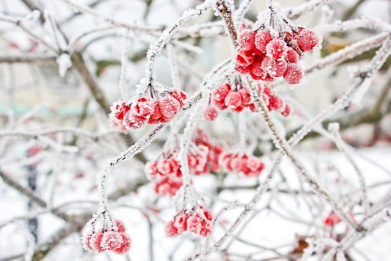 Viburnum i snön första snow arkivfoton