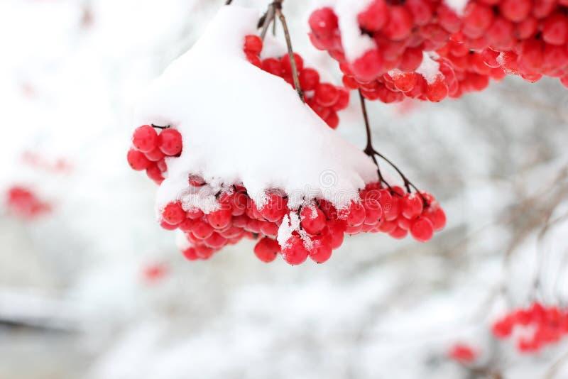 Viburnum i snön första snow royaltyfri foto