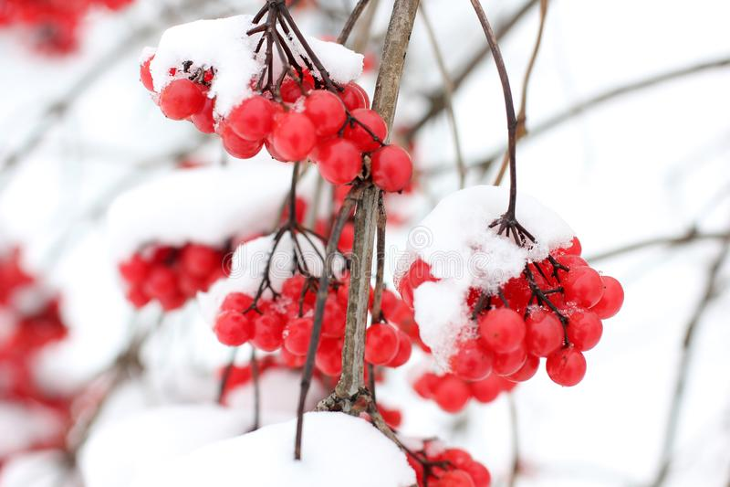 Viburnum i snön första snow fotografering för bildbyråer
