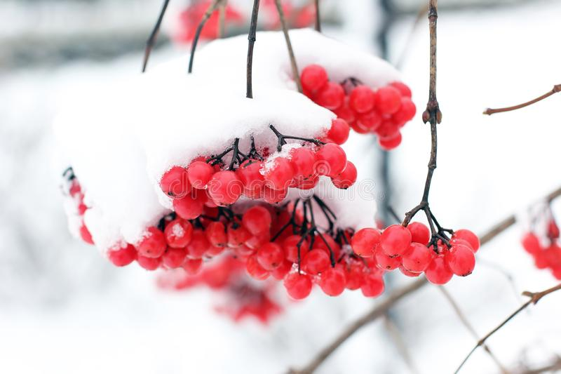 Viburnum i sn?n f?rsta snow royaltyfri fotografi