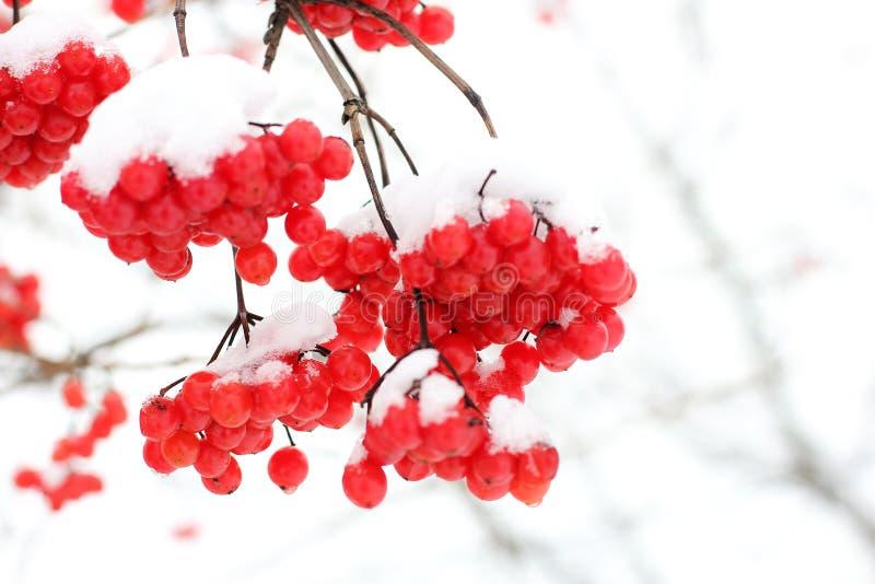 Viburnum i sn?n f?rsta snow royaltyfri bild