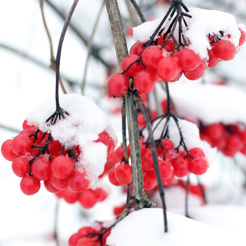 Viburnum i sn?n f?rsta snow arkivfoton