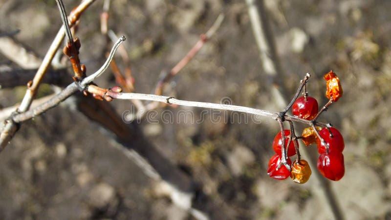 Viburnum jagody na gałąź zdjęcie stock