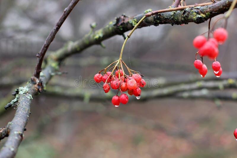 Viburnum op de boom De herfst royalty-vrije stock foto's