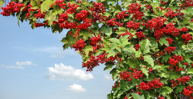 Viburnum viburnum opulus bush with red berries and green leave royalty free stock photos