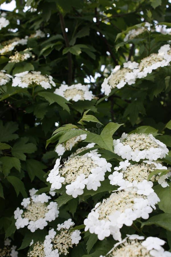 Viburnum que floresce com as flores brancas na mola em um arbusto grande fotos de stock royalty free