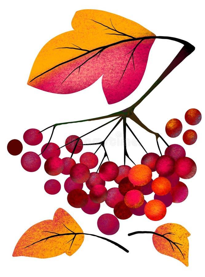 viburnum Ramo do viburnum vermelho suculento em um fundo branco ilustração royalty free