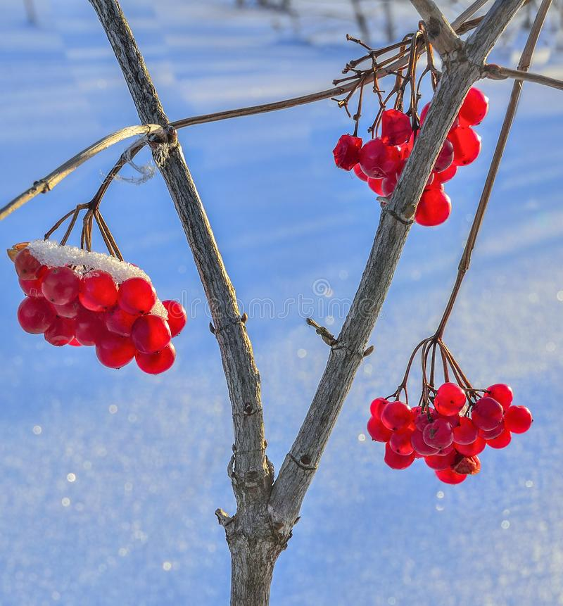 Viburnum red berries with snow covered - bright decoration of winter forest royalty free stock photo