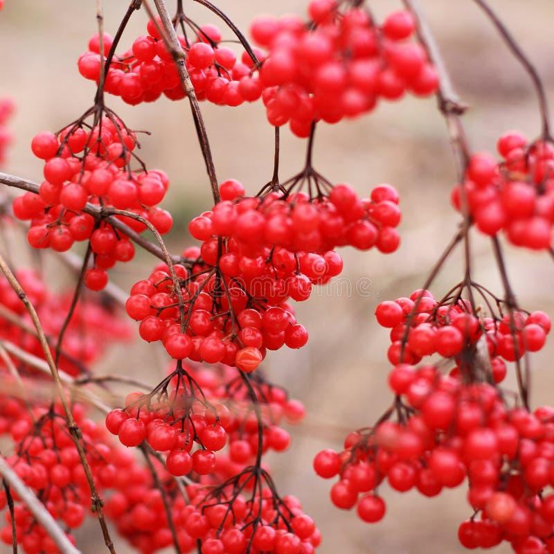 viburnum Rode bessen op de boom stock afbeeldingen