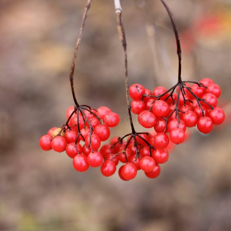 viburnum Rode bessen op de boom stock foto's