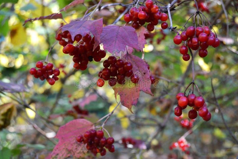 Viburnum rouge photos stock