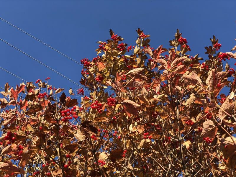 Viburnum rouge de baie sur un arbre d'automne contre le jour ensoleillé lumineux de ciel bleu photo stock