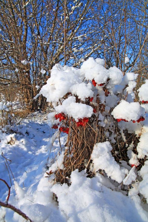 Viburnum in snow. Red berries of the viburnum in snow stock photos