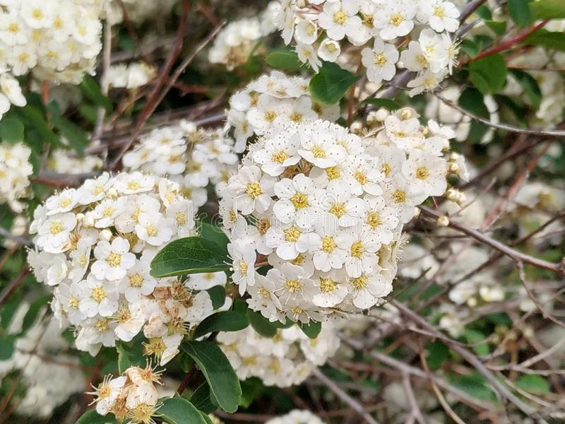 The Viburnum tinus, commonly known as durillo.It is an indigenous plant of the Iberian Peninsula.Floor white in the park of Isla royalty free stock image
