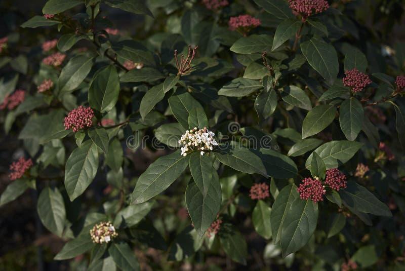 Viburnum tinus krzak obrazy stock