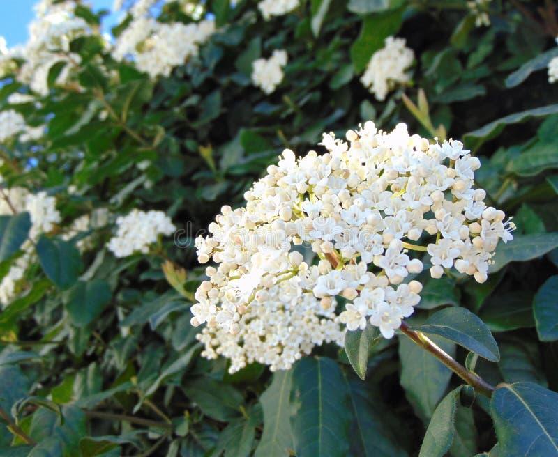 Viburnum tinus Laurustinus drzewa kwiaty obrazy stock