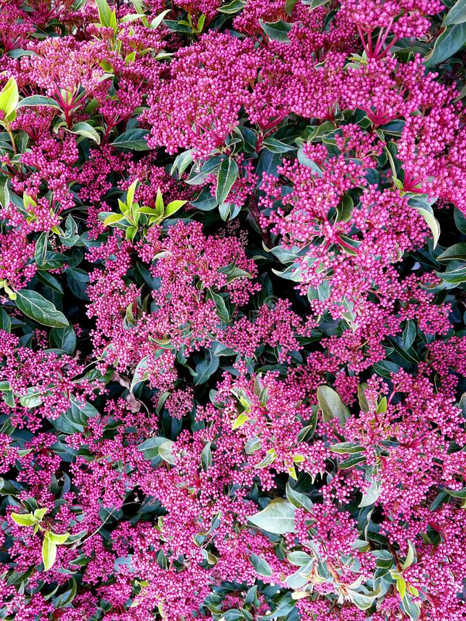 Viburnum tinus okwitnięcie i roślina fotografia royalty free
