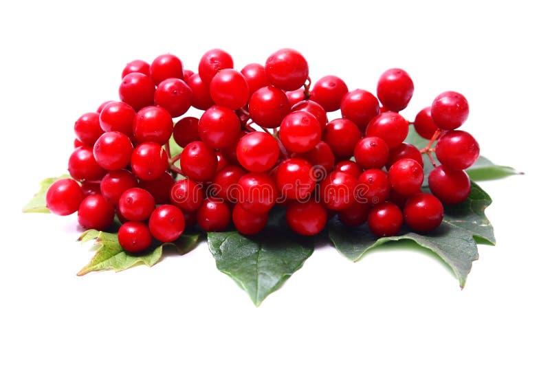 Viburnum vermelho imagem de stock royalty free