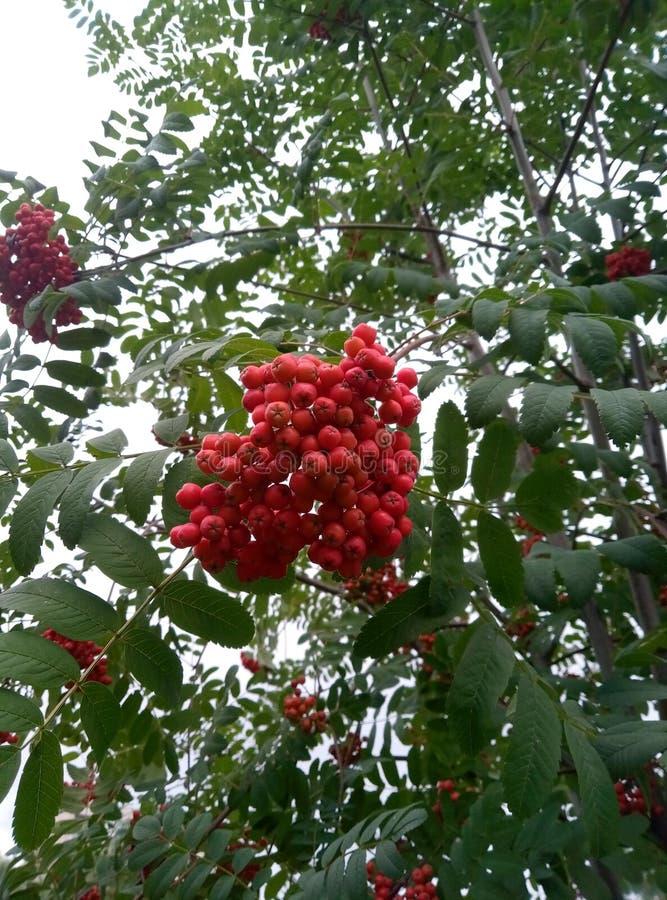 Viburnum vermelho das bagas fotografia de stock