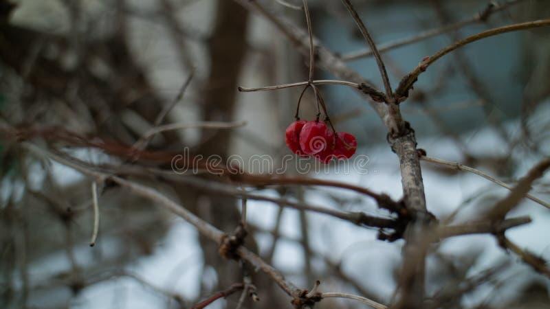 Viburnum vermelho em um dia de inverno frio imagem de stock