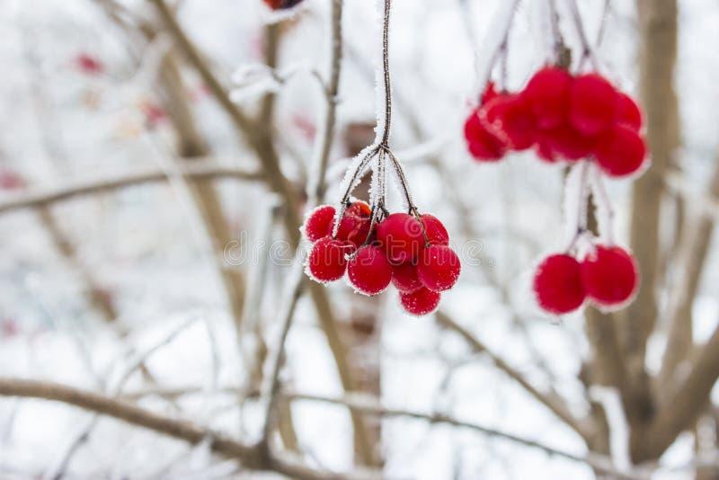 Viburnum w śniegu Zima obrazy stock