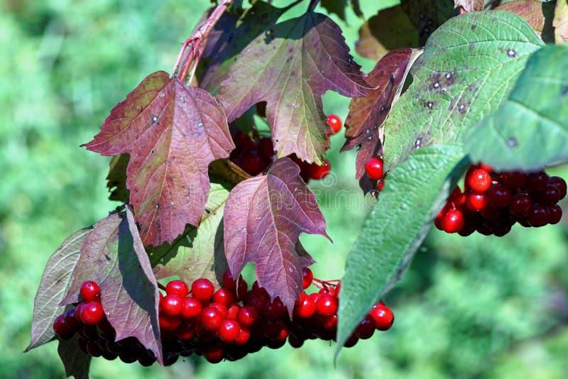 Viburnumbär royaltyfri foto