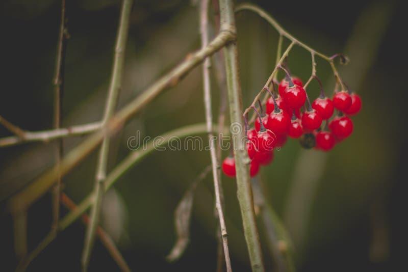 Viburnumbär på hösten, stilfullt foto för tappning fotografering för bildbyråer