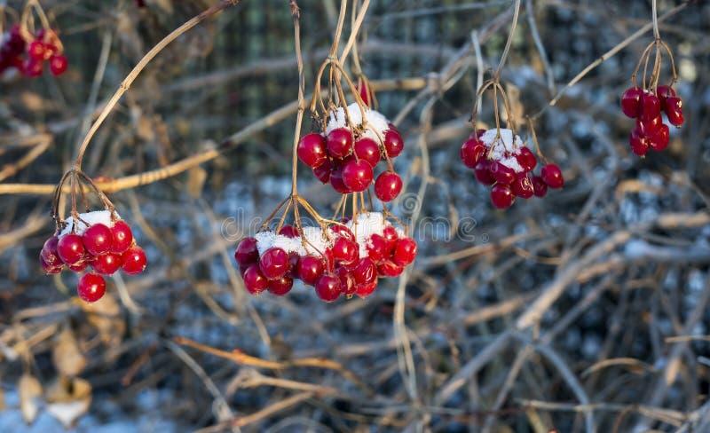 Viburnumbär som täckas med den första snön fotografering för bildbyråer
