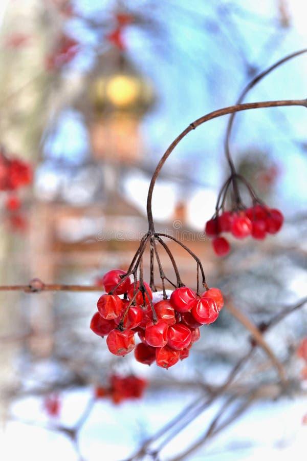 Viburnumbeeren im Winter stockbilder