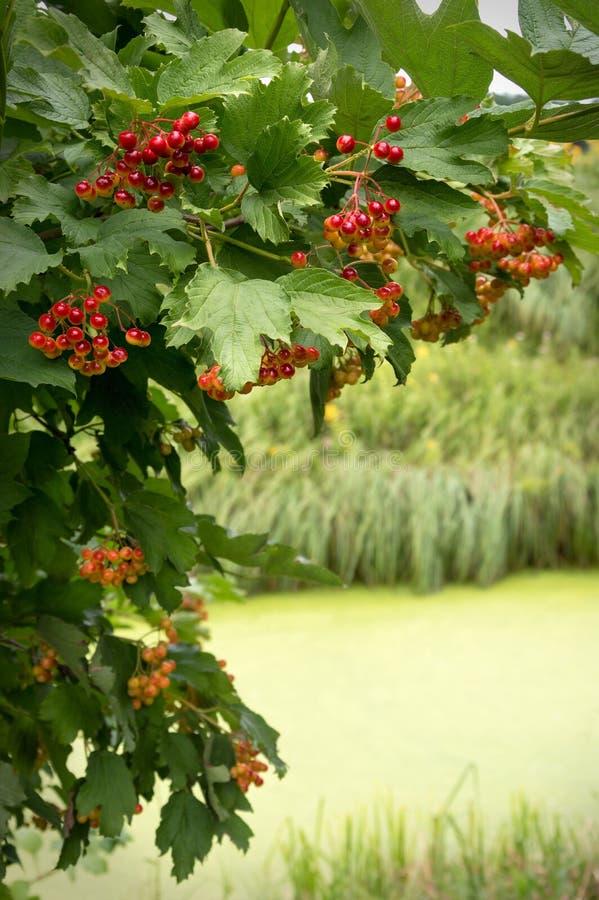 Viburnumfilial med röda bär över floden royaltyfri fotografi