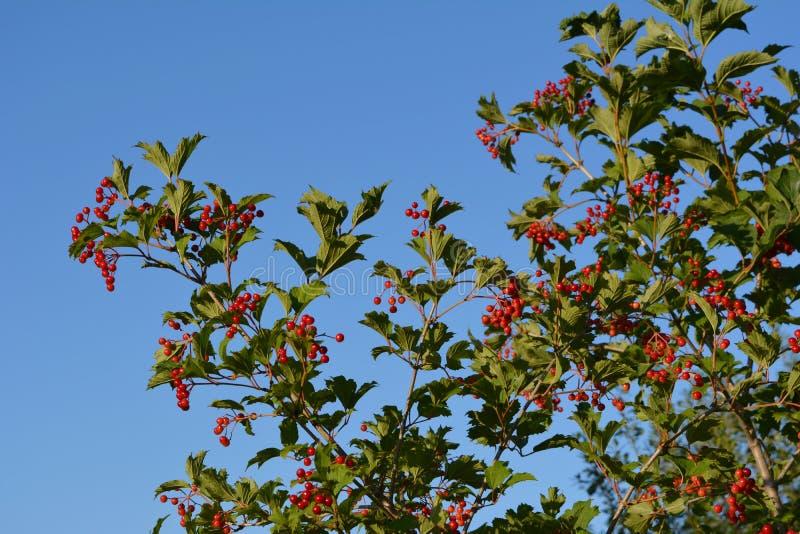 Viburnumstruik in de tuin Takken met rode bessen en groene bladeren op de achtergrond van blauwe hemel stock afbeeldingen