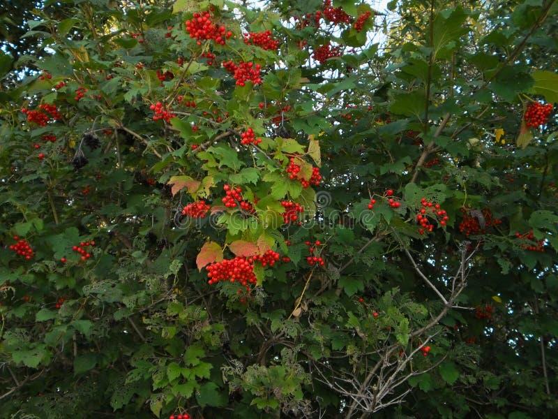Viburnumstruik met bossen van rode bessen, struik of kleine boom van gematigde en warme gebieden royalty-vrije stock foto