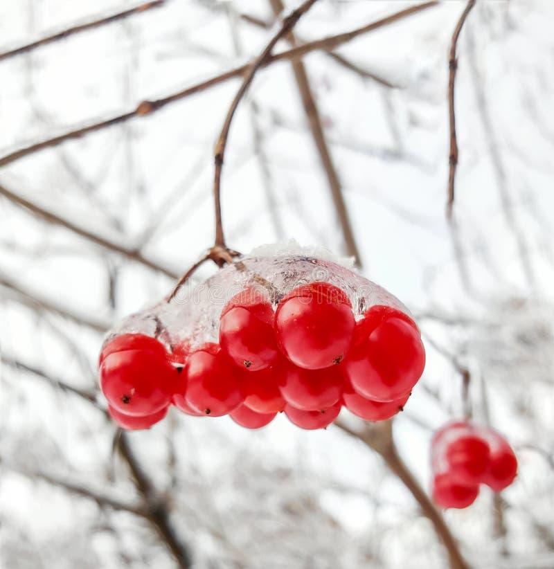 Viburnumtak met rode bessen in sneeuw royalty-vrije stock afbeelding