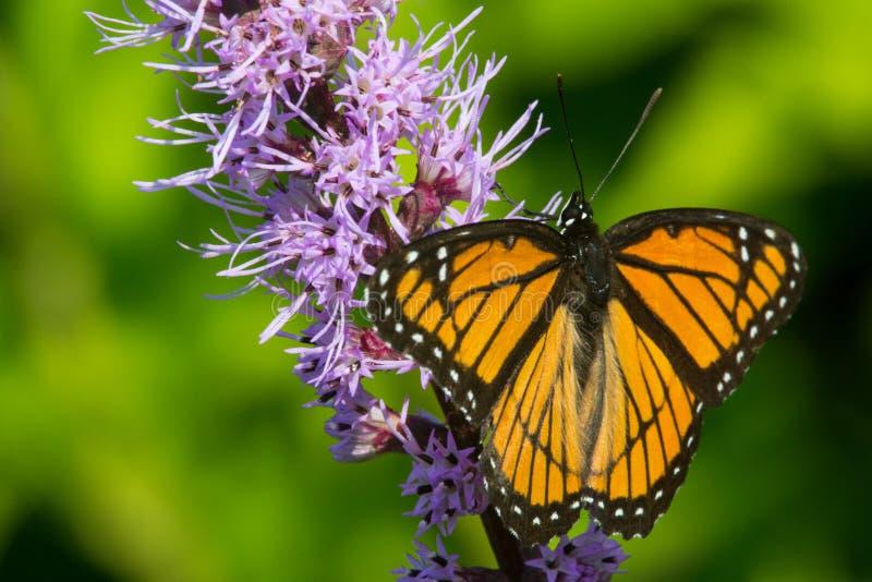Download Viceroy image stock. Image du ailes, environnement, papillon - 45362181