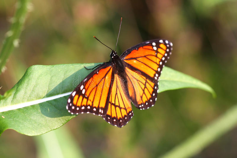 Viceroy Butterfly royalty free stock photos