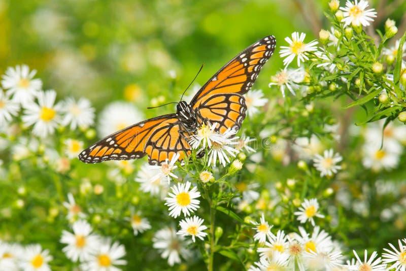 Viceroy Butterfly - Limenitis archippus royalty free stock photo