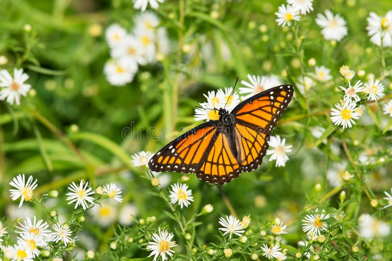 Viceroy Butterfly - Limenitis archippus royalty free stock images