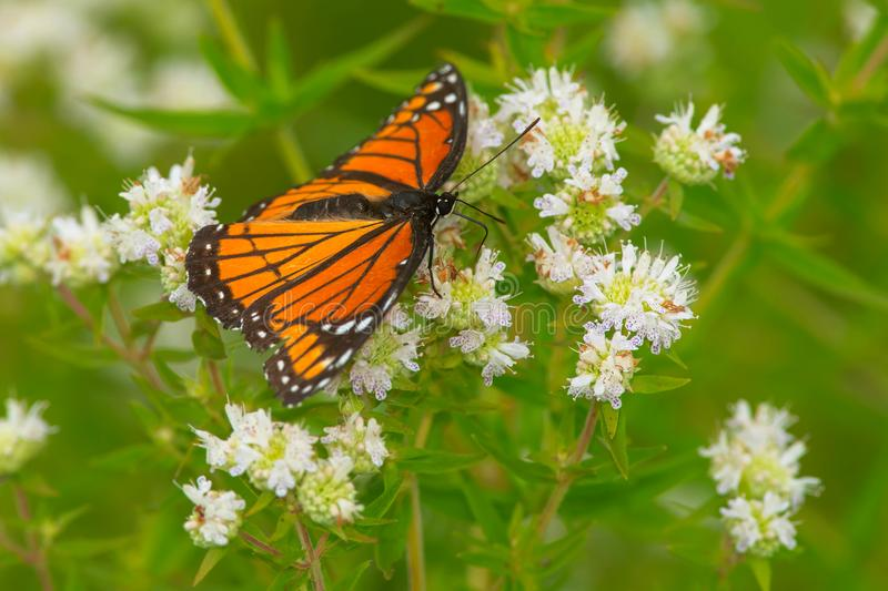 Viceroy Butterfly - Limenitis archippus royalty free stock photography