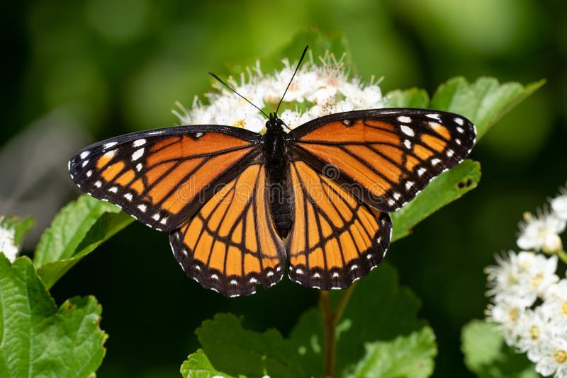 Viceroy Butterfly stockbilder