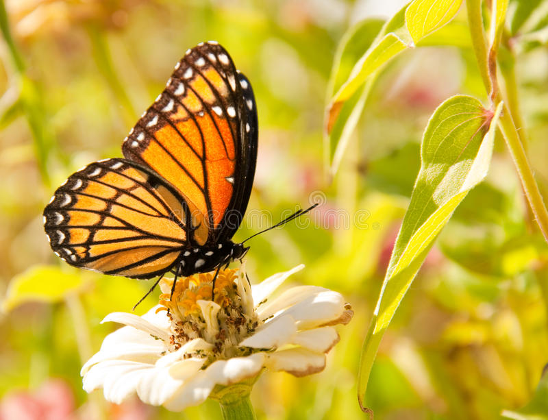 Download Viceroy Butterfly Feeding On A White Zinnia Stock Image - Image: 25106551