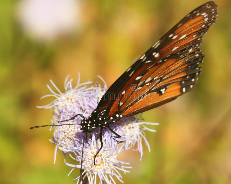A Viceroy Butterfly Feeds On A Wildflower Stock Images