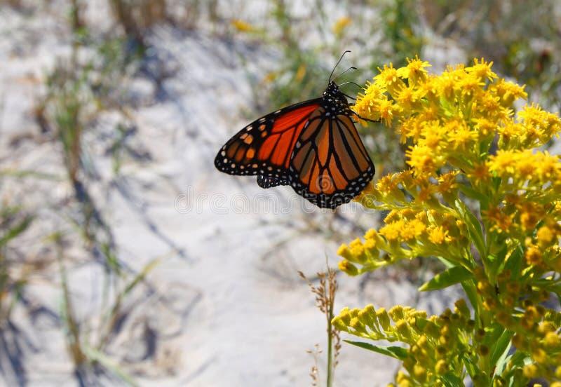 Viceroy butterfly Limenitis archippus stock photos