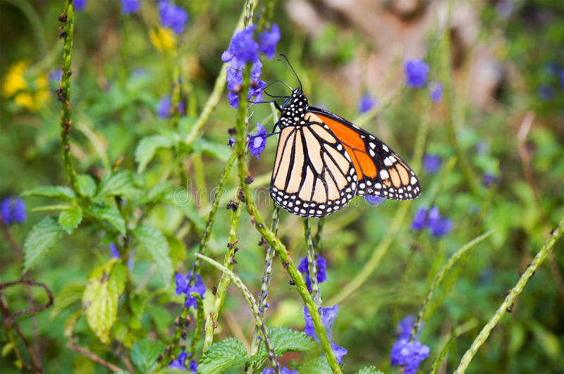 Viceroy Butterfly, Limenitis archippus, Arthropoda insect royalty free stock photography