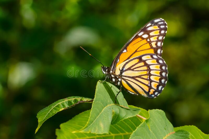Viceroy Butterfly - Limenitis archippus. A Viceroy Butterfly is clinging to a green leaf. Taylor Creek Park, Toronto, Ontario, Canada stock photo