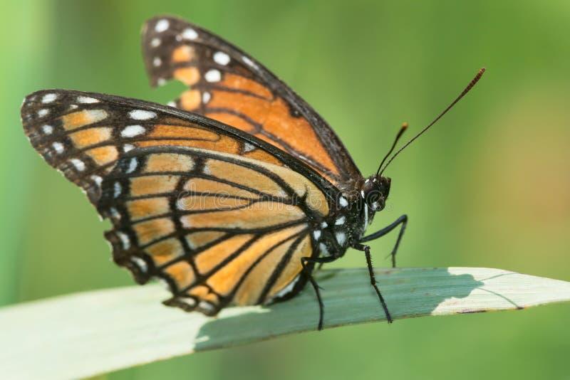 Viceroy Butterfly - Limenitis archippus stock photo