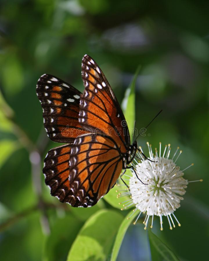 Viceroy Butterfly Pollinating Button Bush Flower stock photography