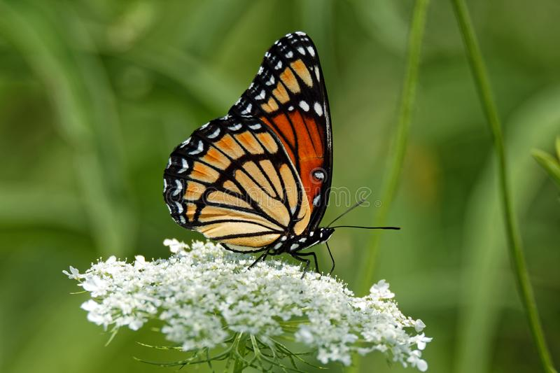 Viceroy Butterfly on Queen Anne`s Lace. A Viceroy Butterfly rests on a Queen Anne's Lace flower. These butterflies mimic the appearance of the Monarch royalty free stock images